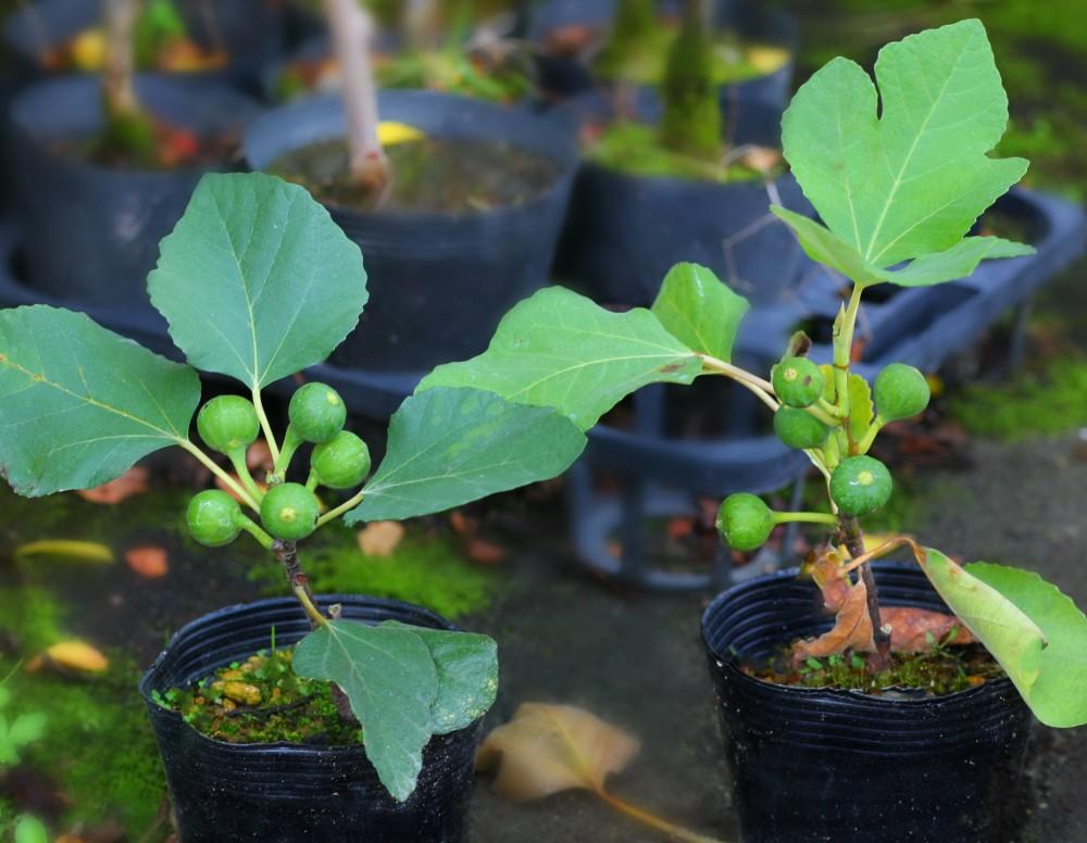 イチジク 鉢植え